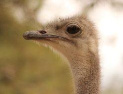 Ostrich Bird Head Beak Bill  - Conrad_ayora / Pixabay