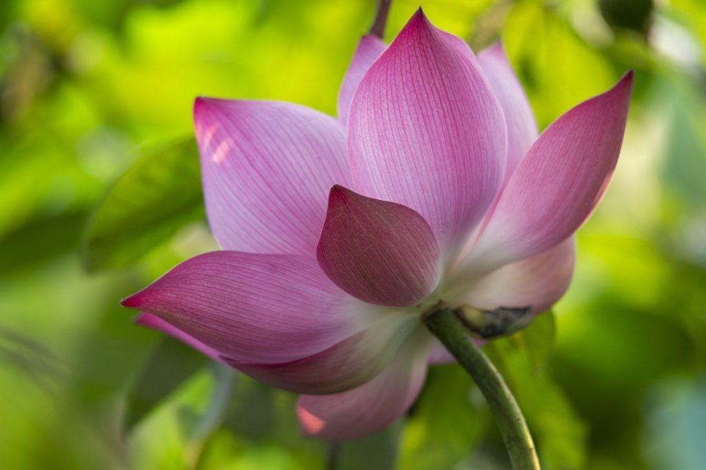 Lotus Flower Pink Flower  - nguyendinhson067 / Pixabay