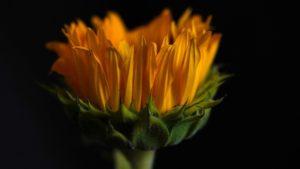 Sunflower Flower Plant  - Mylene2401 / Pixabay